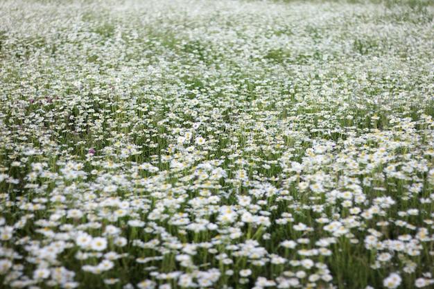 Duże pole stokrotek. tło z białymi kwiatami