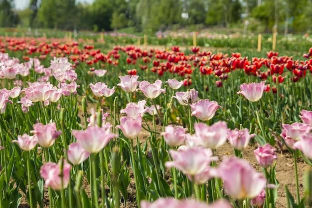 Duże pole wielobarwnych kwiatów tulipanów. piękny kwiatowy tło jasnych tulipanów kwitnących w ogrodzie w środku słonecznego wiosennego dnia.