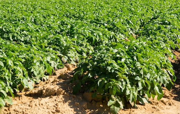 Duże pole ziemniaczane z sadzonkami ziemniaków posadzonymi w ładne, proste rzędy