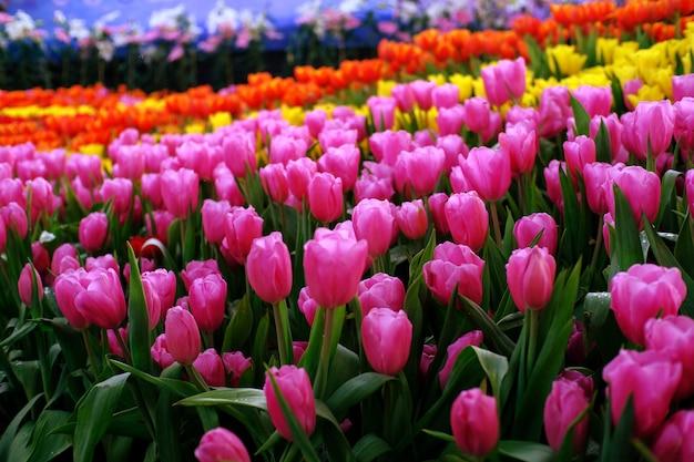 Duże pole żółte fioletowe i czerwone tulipany w ogrodzie.