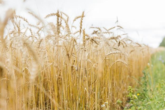 Duże pole żyta i pszenicy na tle nieba