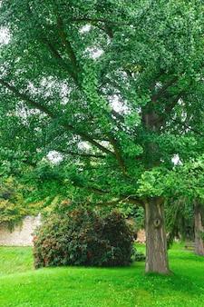 Duże rozłożyste drzewo i kwitnący krzew w letnim parku