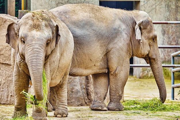 Duże słonie indyjskie to naturalne środowisko.