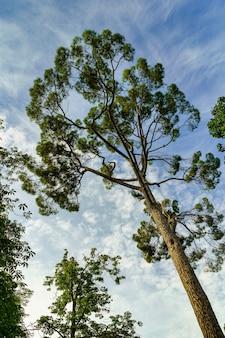 Duże sosny w sylwetce przeciw błękitne niebo z chmurami w letni dzień.
