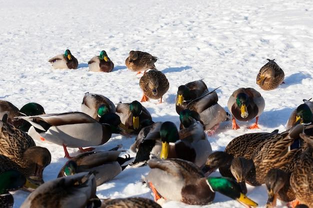 Duże stado kaczek, które zostało na zimę w europie, zimna pora z mrozami i śniegiem, kaczki siedzą na śniegu