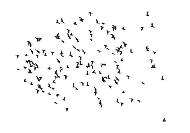 Duże stado ptaków na białym tle