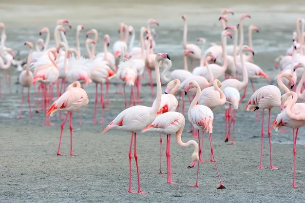 Duże stado różowych flamingów żerujących na brzegu