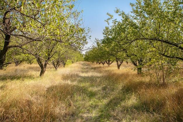 Duże stare drzewa sadu morelowego.