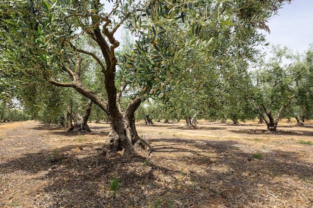 Duże stare drzewo oliwne z zakrzywionym pniem i szerokimi gałęziami wśród gaju oliwnego w słoneczny dzień