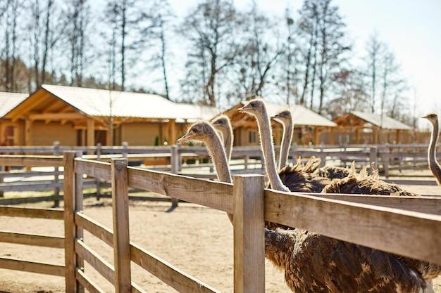 Duże strusie w gospodarstwie pole za drewnianym ogrodzeniem, zwierzęta domowe na zewnątrz, koncepcja rolnictwa ekologicznego.
