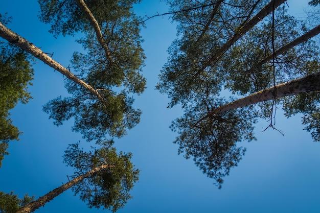 Duże szczyty drzew sosnowych na bezchmurnym niebie