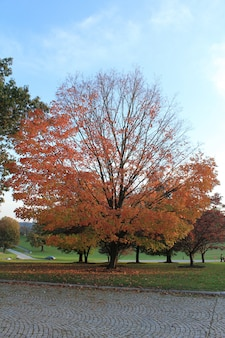 Duże, szerokie drzewo z czerwonymi liśćmi na środku parku jesienią