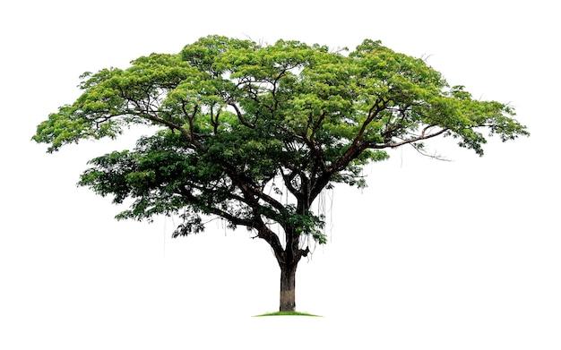 Duże tropikalne drzewo na białym tle. plik zawiera ścieżkę przycinającą, dzięki czemu jest łatwa w obróbce.