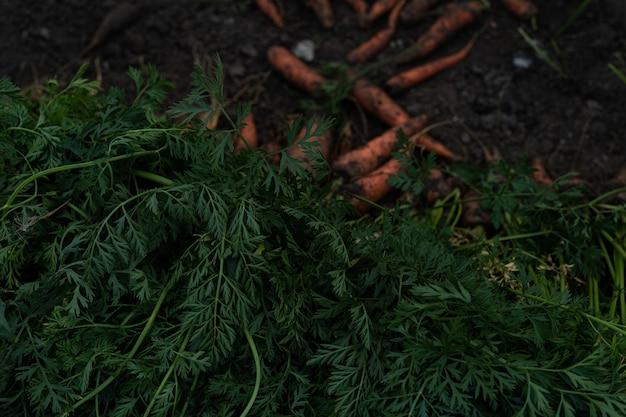 Duże zbiory marchwi układane są w rzędach. wykroje z marchwi.