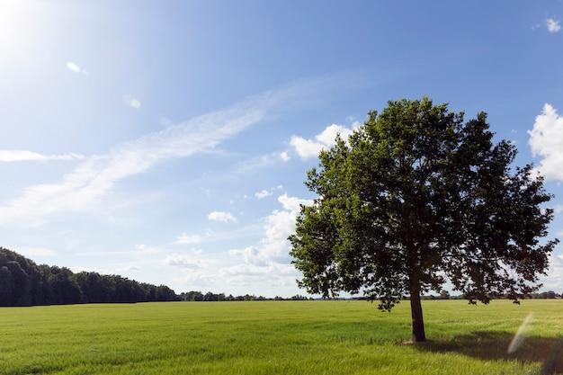 Duże zielone drzewo w polu pszenicy na tle błękitnego nieba