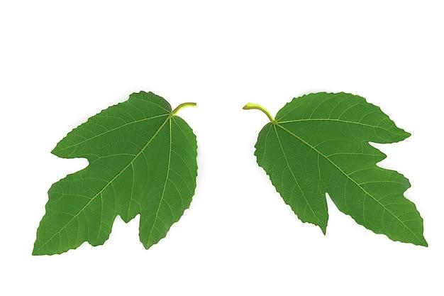 Duże zielone liście fig na białej powierzchni