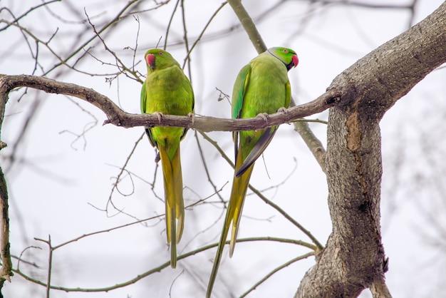 Duże zielone papugi na gałęzi
