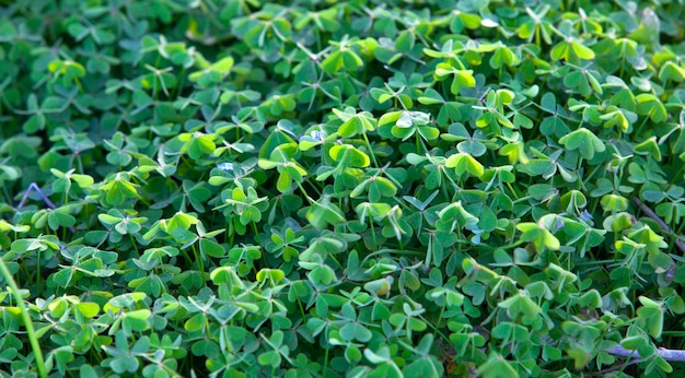 Duże zielone pole koniczyny w lesie