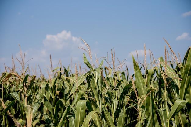 Duże zielone pole kukurydzy i letnie błękitne niebo.