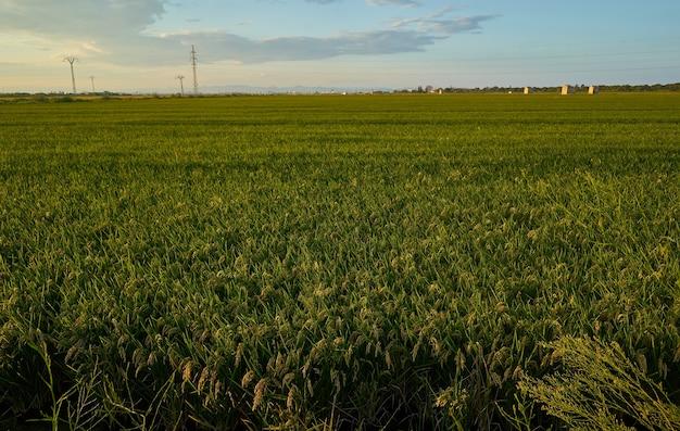 Duże zielone pole ryżowe z zielonymi roślinami ryżowymi w rzędach o zachodzie słońca w walencji