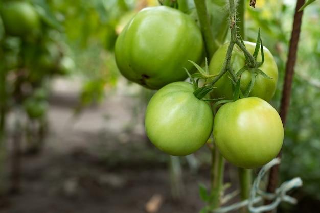 Duże zielone pomidory na gałęzi w szklarni z bliska
