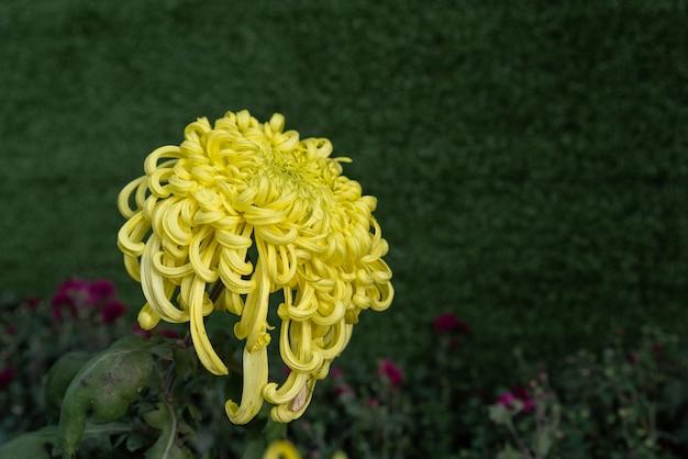 Duże żółte chryzantemy w parku