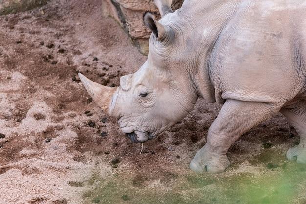 Duże zwierzęta, nosorożce wąchające ziemię w poszukiwaniu jedzenia z rogiem.