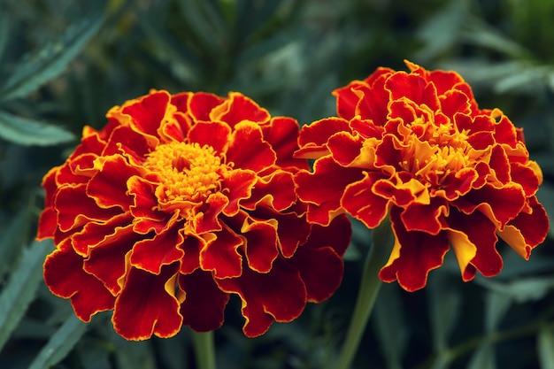Duzi czerwoni i pomarańczowi nagietki kwitną w ogródzie