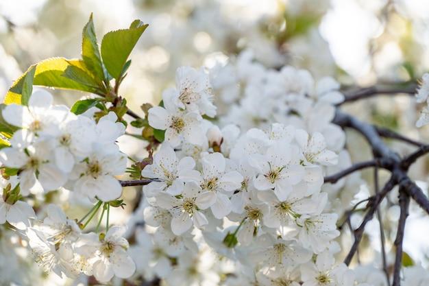 Dużo białych kwiatów na kwitnących gałęziach drzew owocowych w ogrodzie