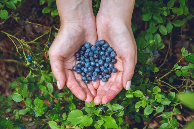 Dużo dojrzałych, świeżych jagód w rękach młodej dziewczyny. zamknij się w lesie latem