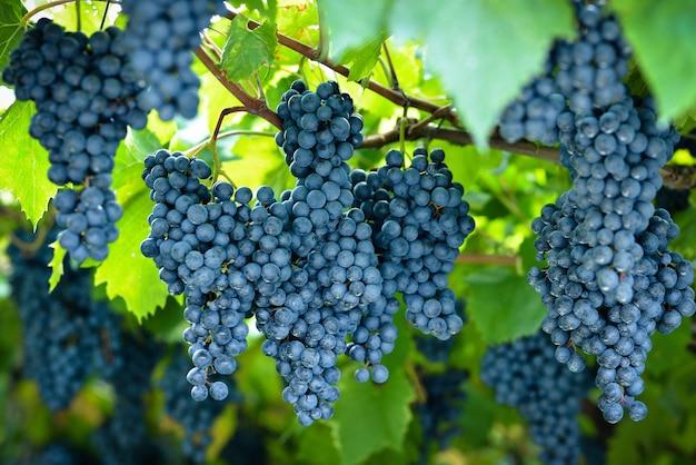 Dużo dużych czerwonych winogron rośnie w winnicy
