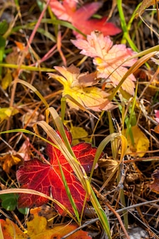 Dużo kolorowych liści jesienią w starej wyblakłej trawie. kolory czerwony i żółty. słoneczny. selektywne skupienie. tło jest rozmazane.
