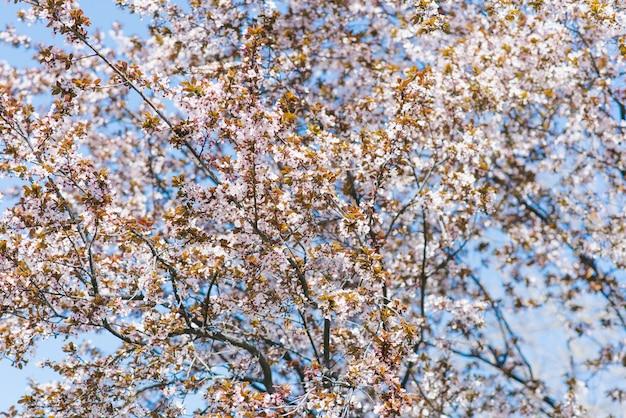 Dużo kwitnącej wiśni na drzewie w słoneczny, pogodny dzień