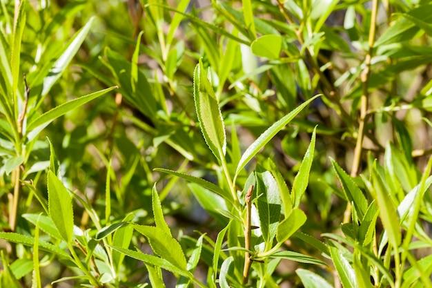 Dużo liści na gałęziach drzew na początku wiosennego wzrostu roślinności, zdjęcie zbliżenie szczegóły wzrostu drzew
