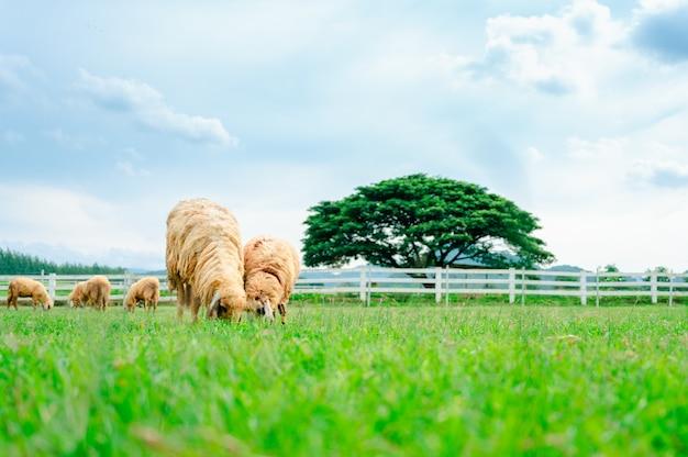 Dużo owiec na łące, stado owiec wypasanych w zielonym gospodarstwie