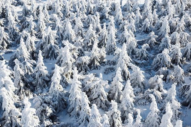 Dużo śnieżnych jodeł, widok z góry.