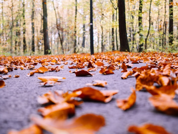 Dużo suchych jesiennych liści klonu spadających na ziemię w otoczeniu wysokich drzew na rozmytym tle