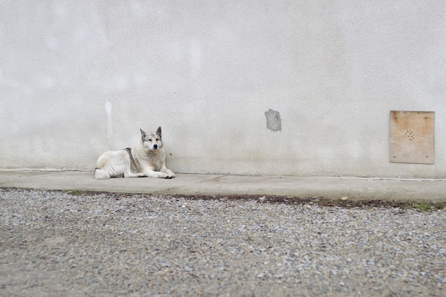 Duży biały dorosły mądry pies rasy łajka zachodniosyberyjska siedzący na zewnątrz stróżujący dom