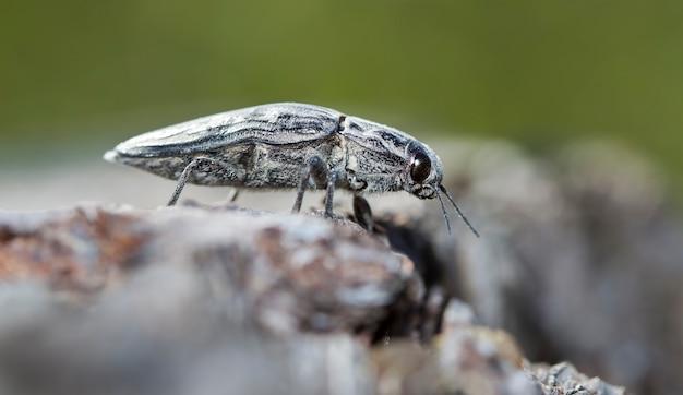 Duży błąd kornika na starej kłodzie w rodzimym środowisku