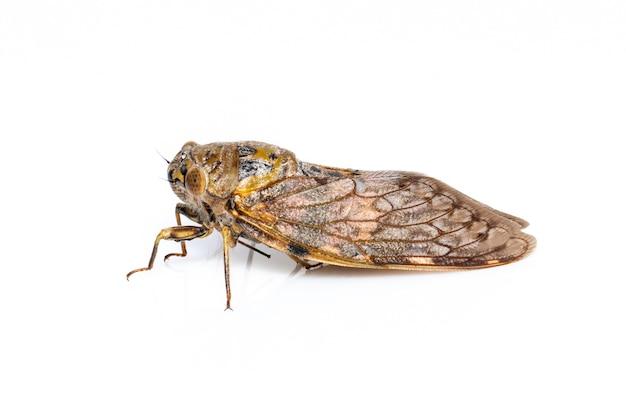 Duży brązowy owad cykady na białym tle. owady.
