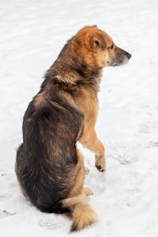 Duży brązowy pies zimą siedzi na śniegu