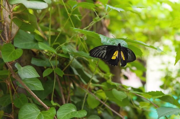 Duży czarny motyl na zielonym liściu