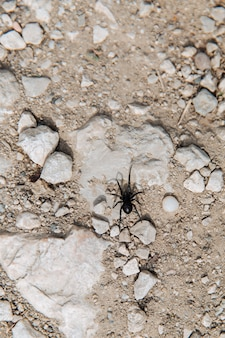 Duży czarny pająk czołga się po kamieniu.