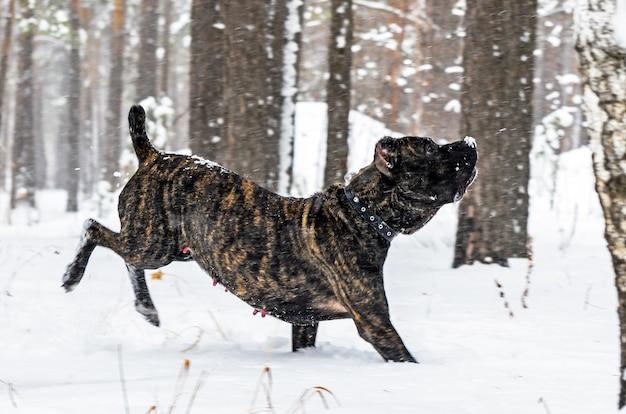 Duży czarny pies cane corso zimą chodzić po śniegu w lesie.