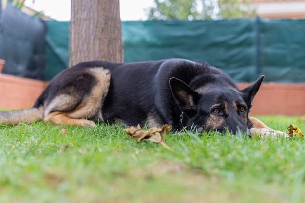 Duży czarny pies odpoczywa na trawie