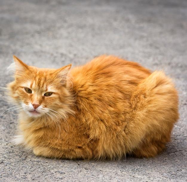 Duży czerwony kot siedzi na asfalcie