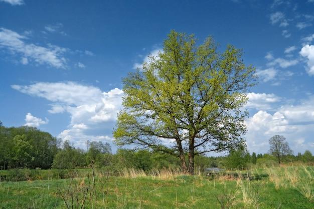 Duży dąb na zielonym letnim polu
