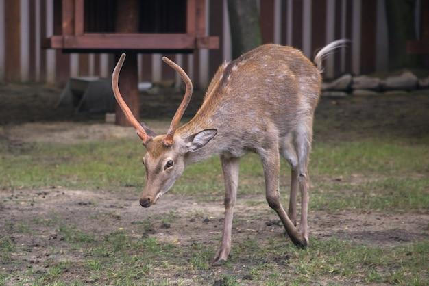 Duży daniel samiec dama dama z dużymi rogami spacerujący w zielonym lesie w okresie jesiennym