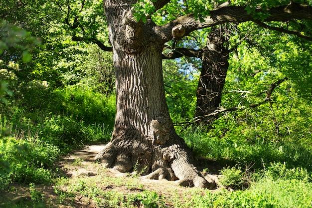 Duży dębowy drzewo w parku w lecie