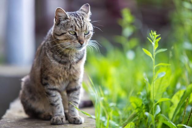 Duży domowy kot cieszy się ciepłą lato pogodę.